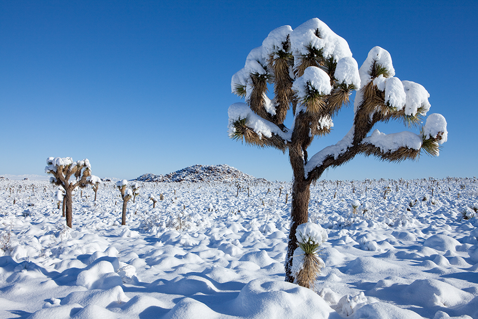 Joshua Trees in the Snow
