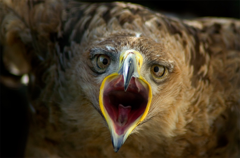 Tawny Eagle Pdn Photo Of The Day