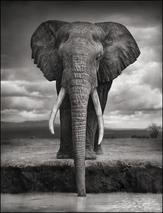 A Portrait of an Elephant