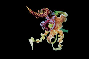 """Dendrobium spectabile."" © Jonathan M. Singer / Courtesy of Abbeville Press"