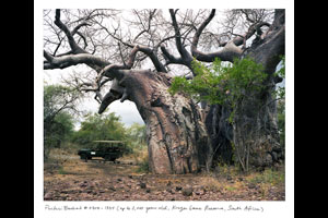 Pafuri Baobab (Up to 2,000 years old; Kruger National Park, South Africa). © Rachel Sussman/Courtesy University of Chicago