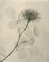 Dr.-Dain-L.-Tasker,-A-Rose-1936-f
