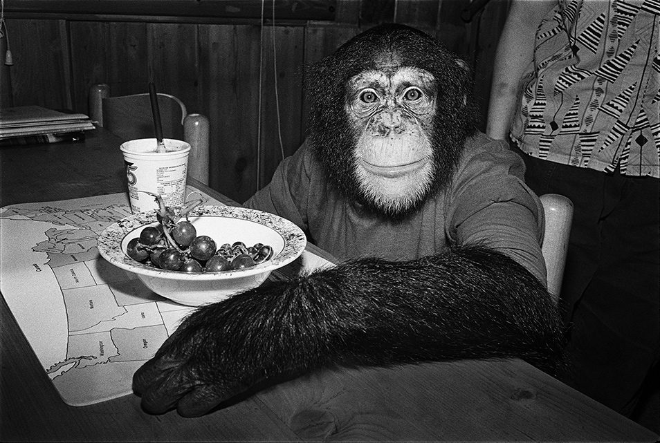Chimpanzees Relax at Home | PDN Photo of the Day