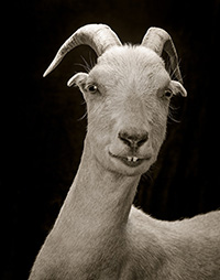 Photographing Goats and Sheep Like Aristocracy
